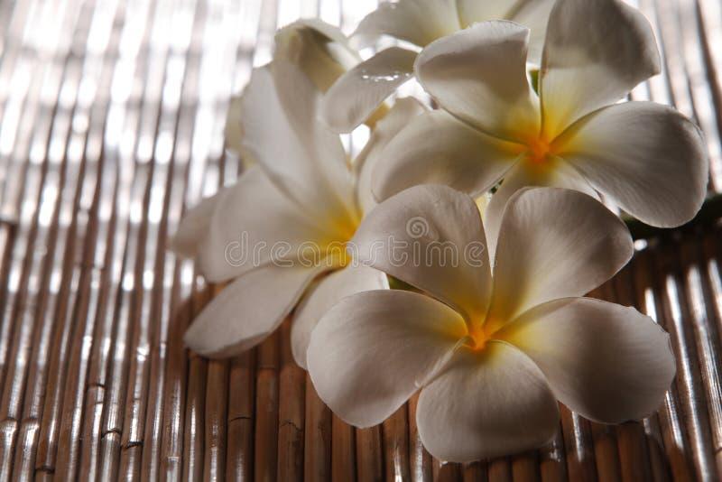 Frangipani blossom stock image