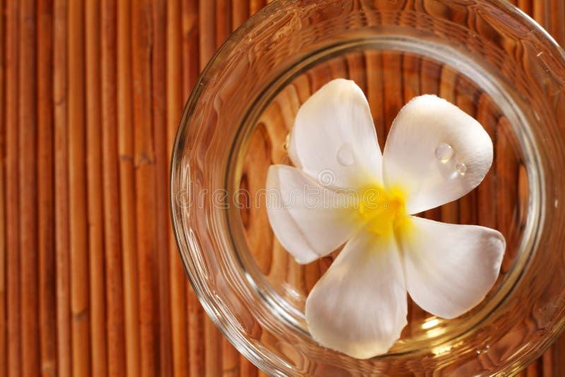 Frangipani blossom royalty free stock photos