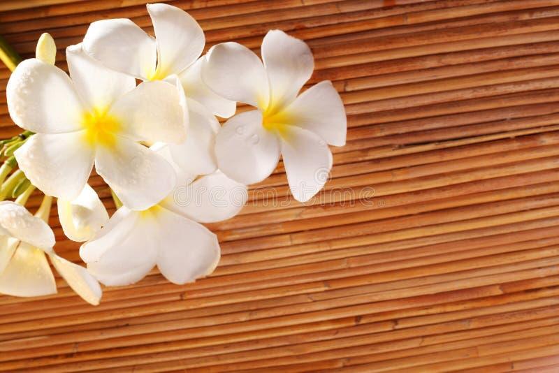 Frangipani blossom royalty free stock photography