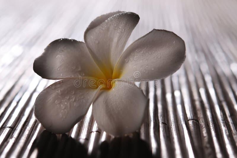Frangipani blossom stock photo