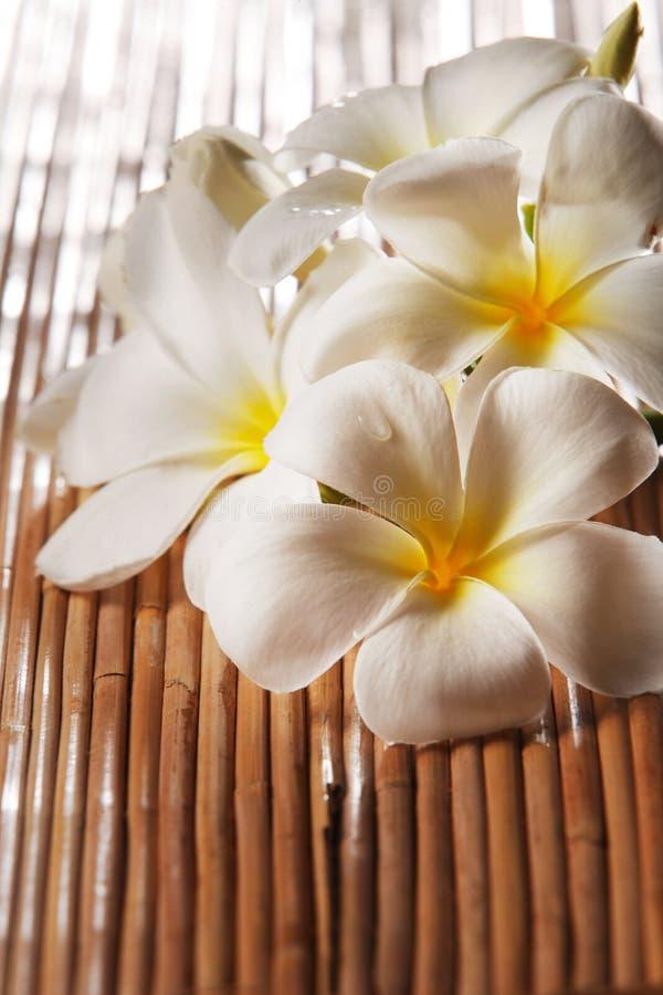Frangipani blossom royalty free stock images