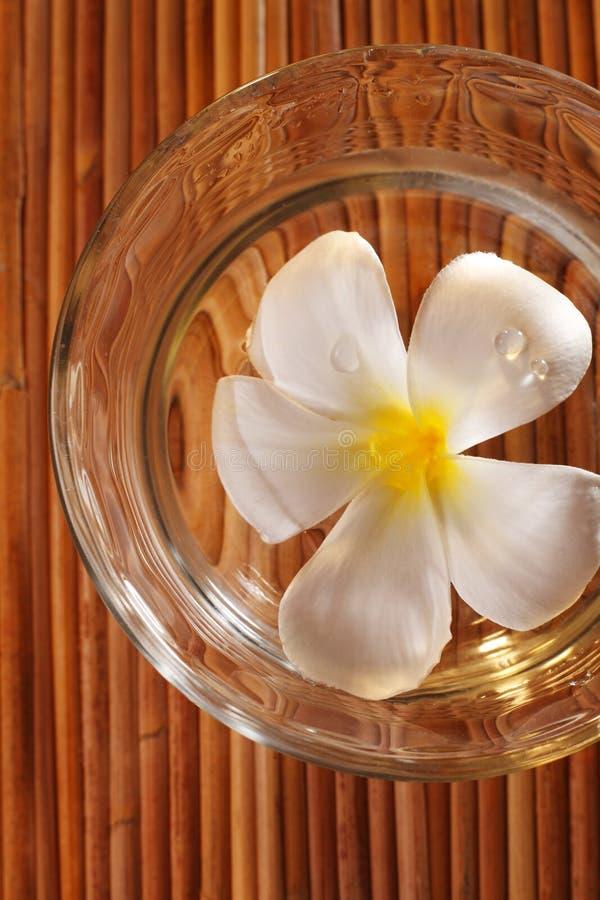 Frangipani blossom royalty free stock image