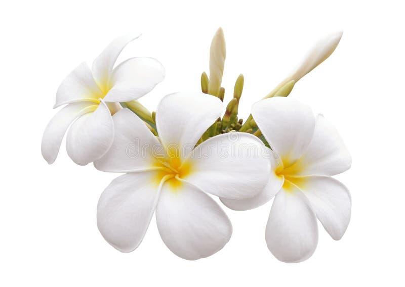 Frangipani-Blume stockbilder