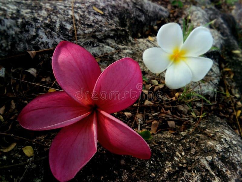frangipani stock photos