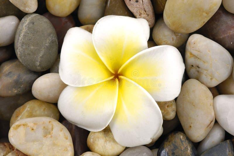 frangipani de fleur photos stock