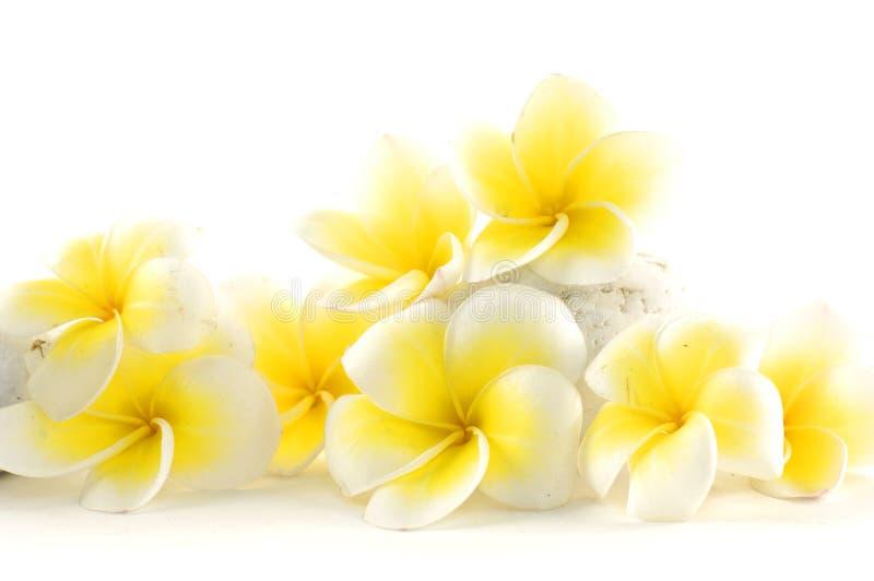 frangipani de fleur image stock
