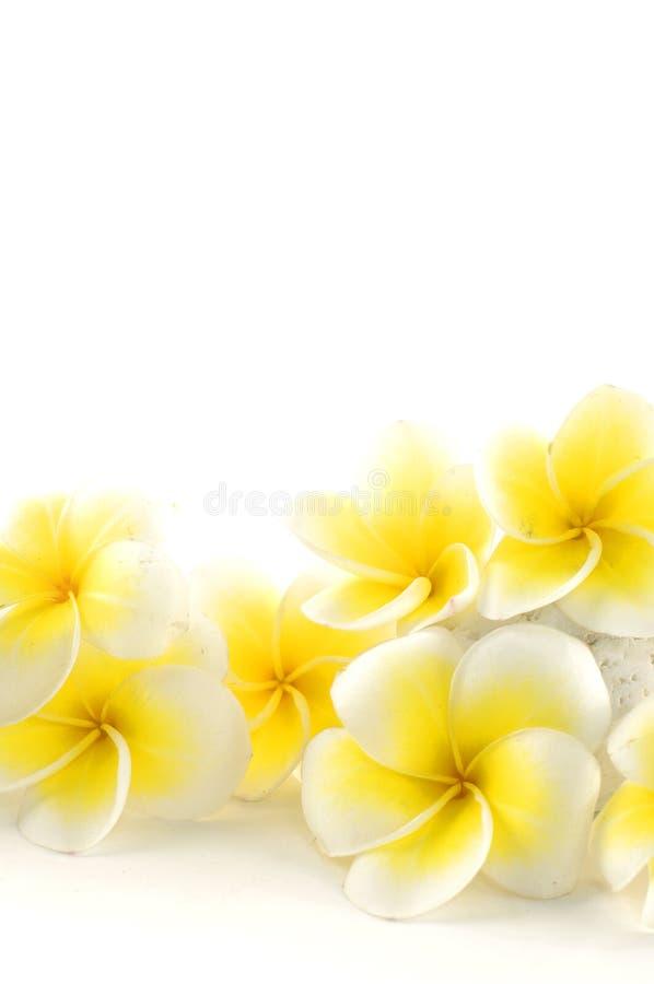 frangipani de fleur images libres de droits