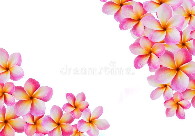 Frangipani de fleur ou groupe rose d'isolement de plumeria sur le backg blanc images libres de droits