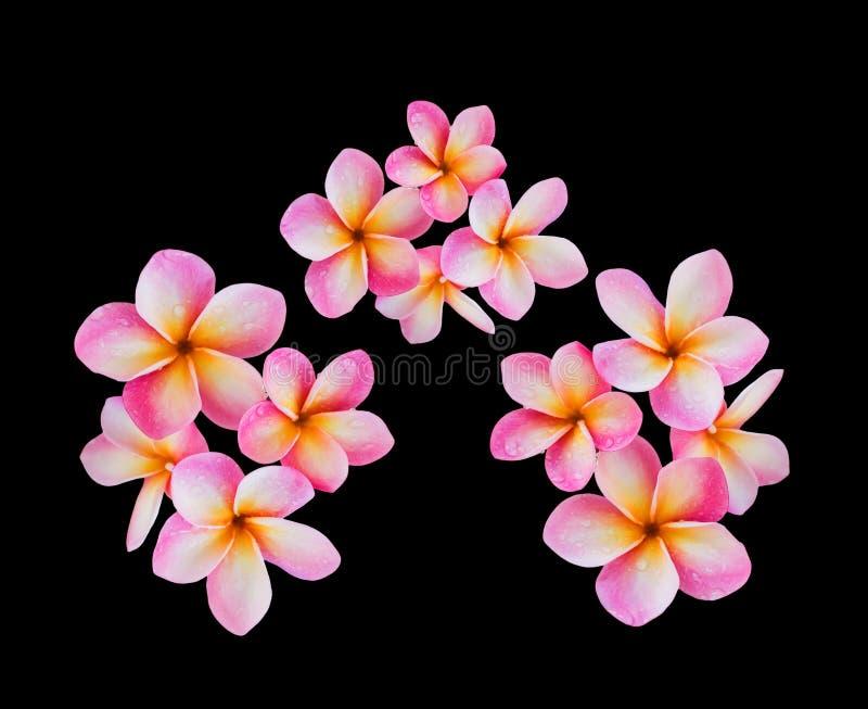 Frangipani de fleur ou groupe rose d'isolement de plumeria sur le backg noir images libres de droits