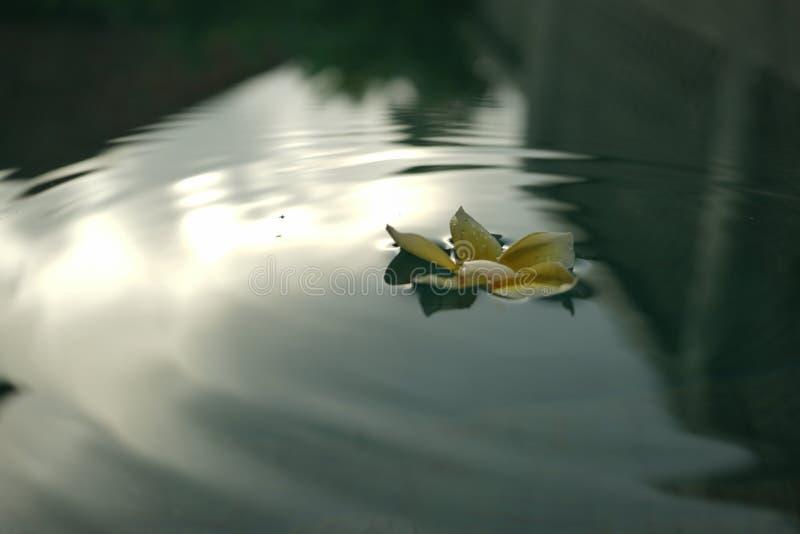 Frangipani, der in das Pool schwimmt stockfotografie
