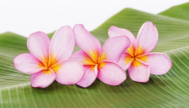 Frangipani- eller Plumeriablomma på bananbladbakgrund royaltyfria bilder