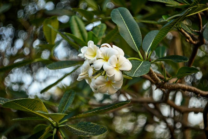 Frangipani- eller Plumeriablommatr arkivfoto