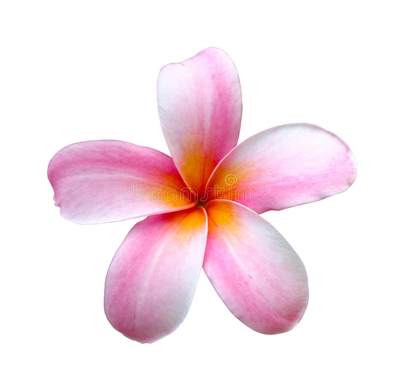 Frangipani eller rosa plumeriablommor som isoleras med urklippbanan royaltyfria bilder