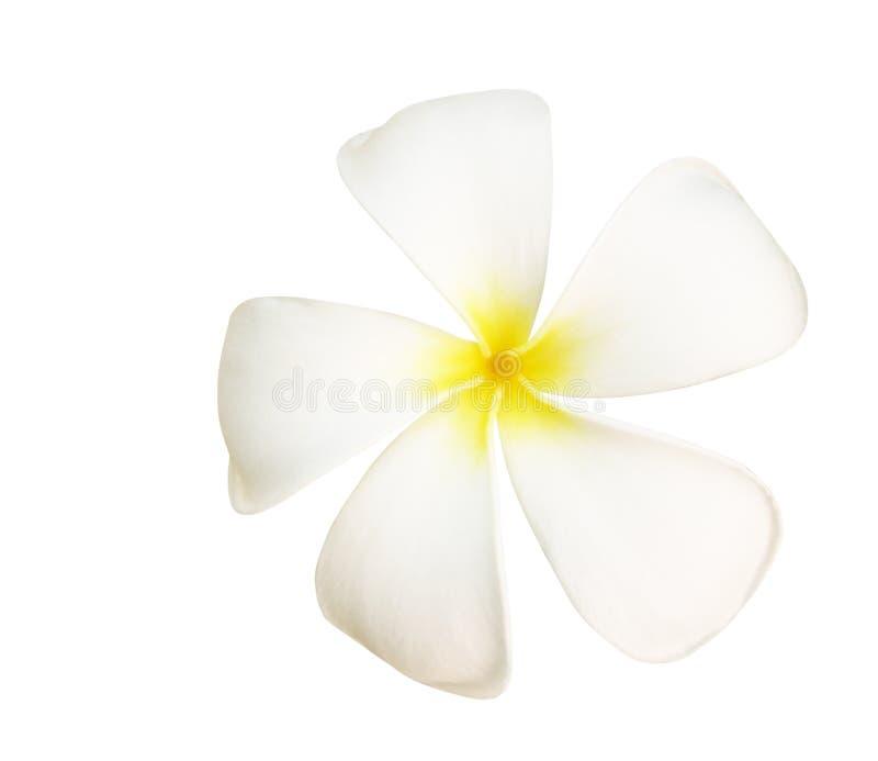 Frangipani eller vita plumeriablommor som isoleras med urklippbanan royaltyfria foton