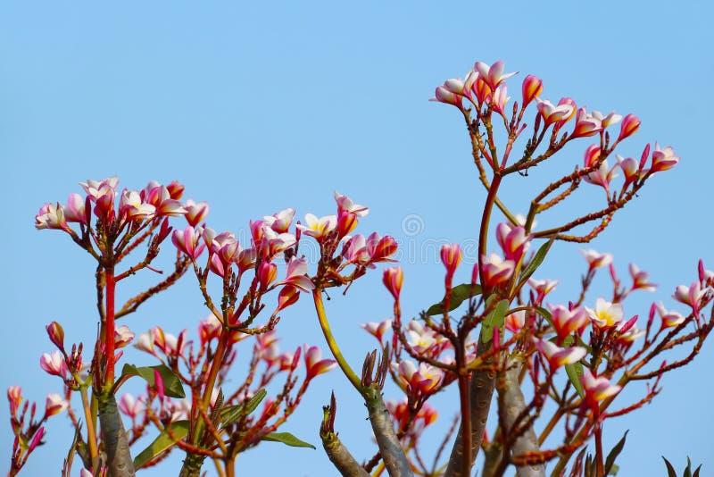 Frangipani, flor de Plumaria foto de archivo