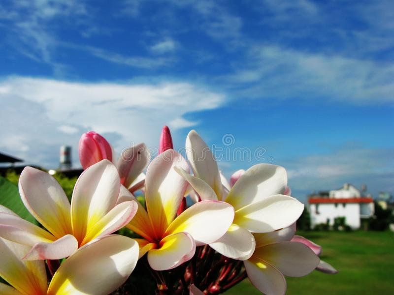 Frangipani flower. Darker Frangipani flower for backbround with light yellow color royalty free stock photography