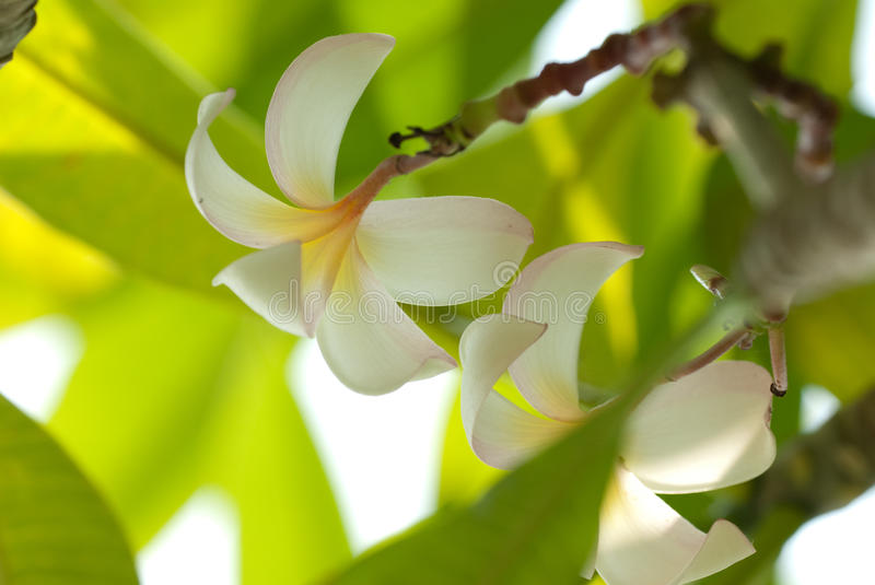 Frangipani flower. Darker Frangipani flower for backbround royalty free stock image