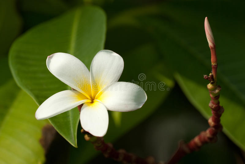 Frangipani flower. Darker Frangipani flower for backbround stock photos