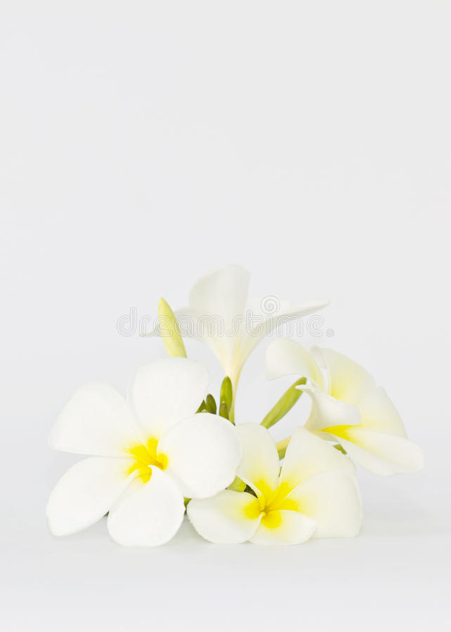 Download Frangipani flower stock photo. Image of scent, blossom - 21464712