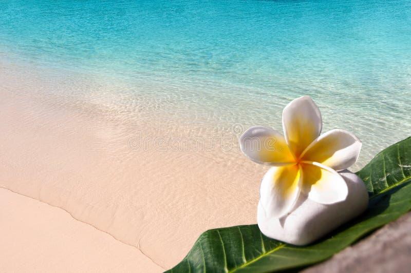 Frangipani flower, beach and lagoon royalty free stock image