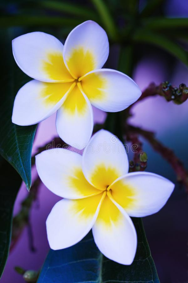 Frangipani flower symbol of love stock photography