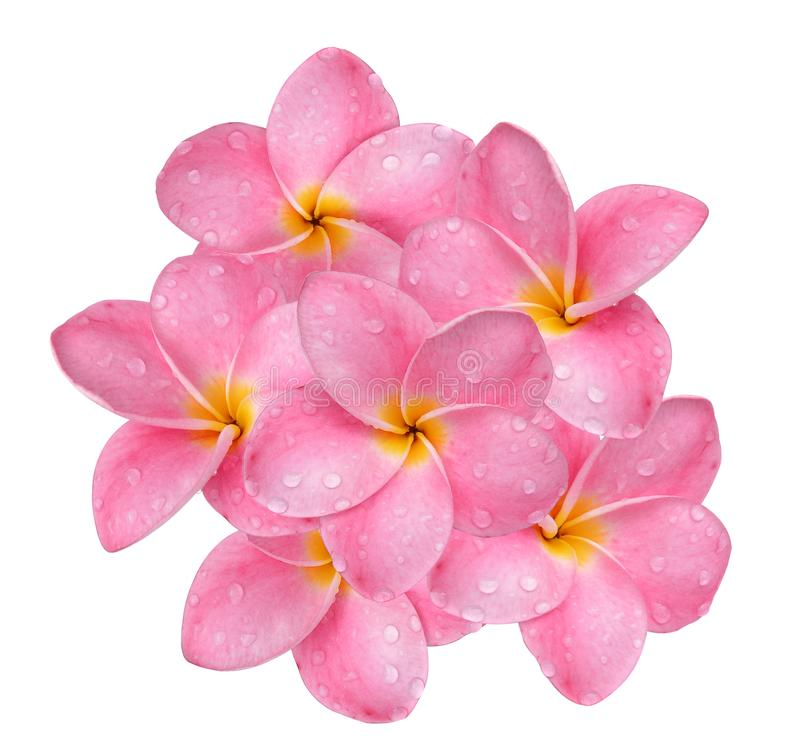 frangipani flower with drops of water isolated on white background. royalty free stock photo
