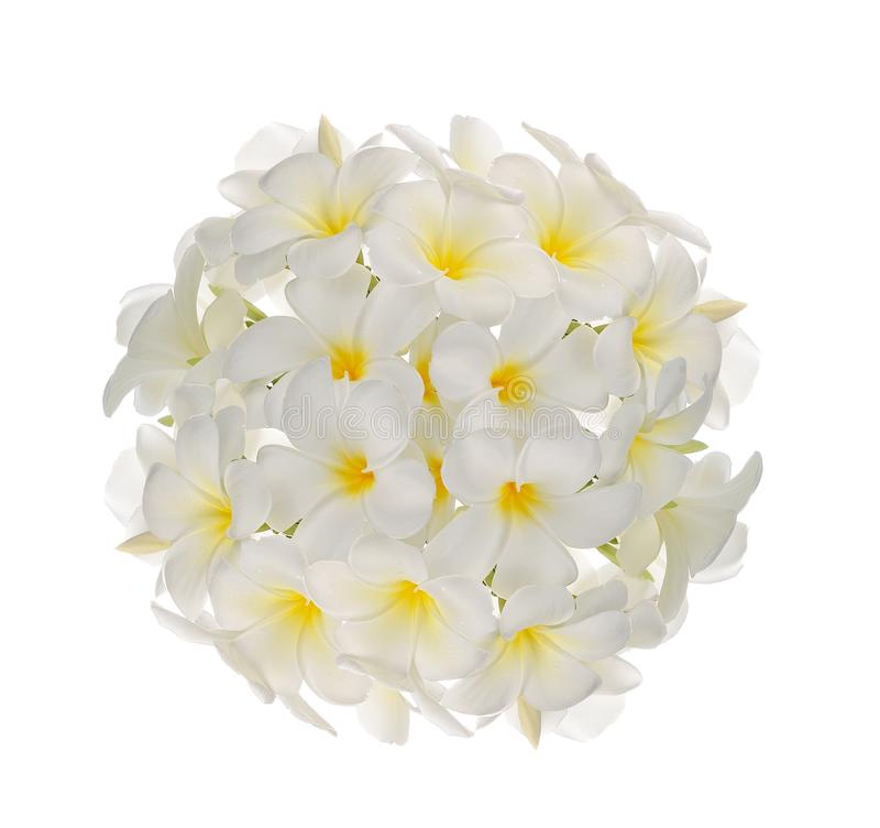 Frangipani flower royalty free stock photo