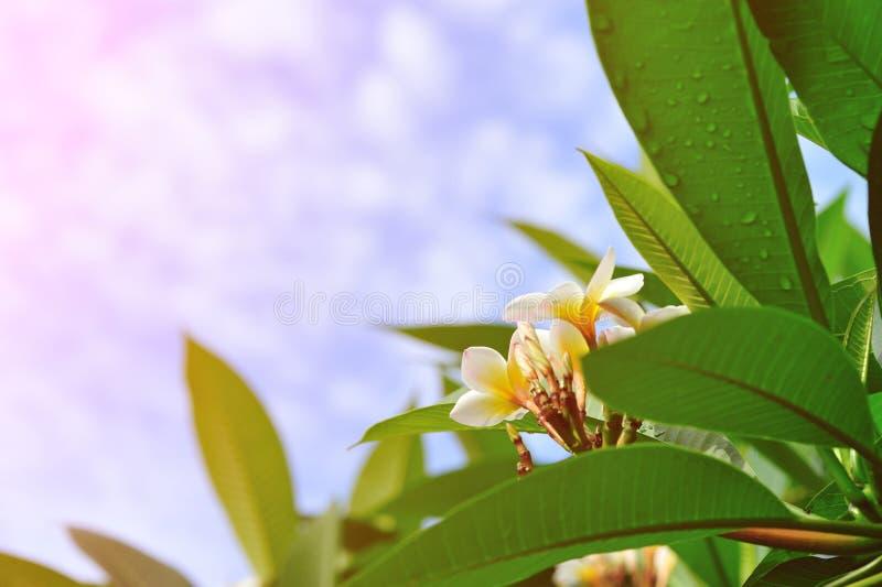 Frangipani flower. Fresh frangipani flower background sky stock photos