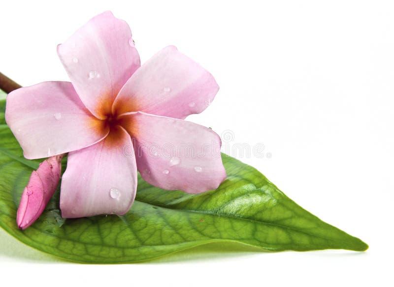 Frangipani flower on green leaf. A frangipani flower on green leaf stock photos