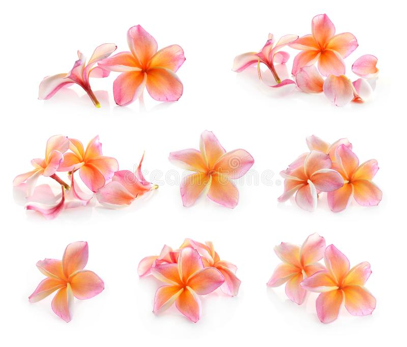 Frangipani flower isolated on white stock photo