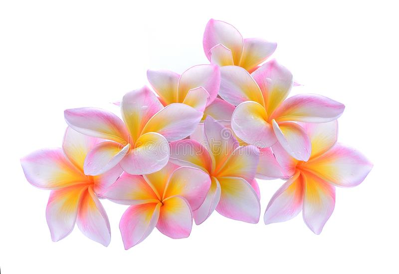 Frangipani flower isolated on white background stock image