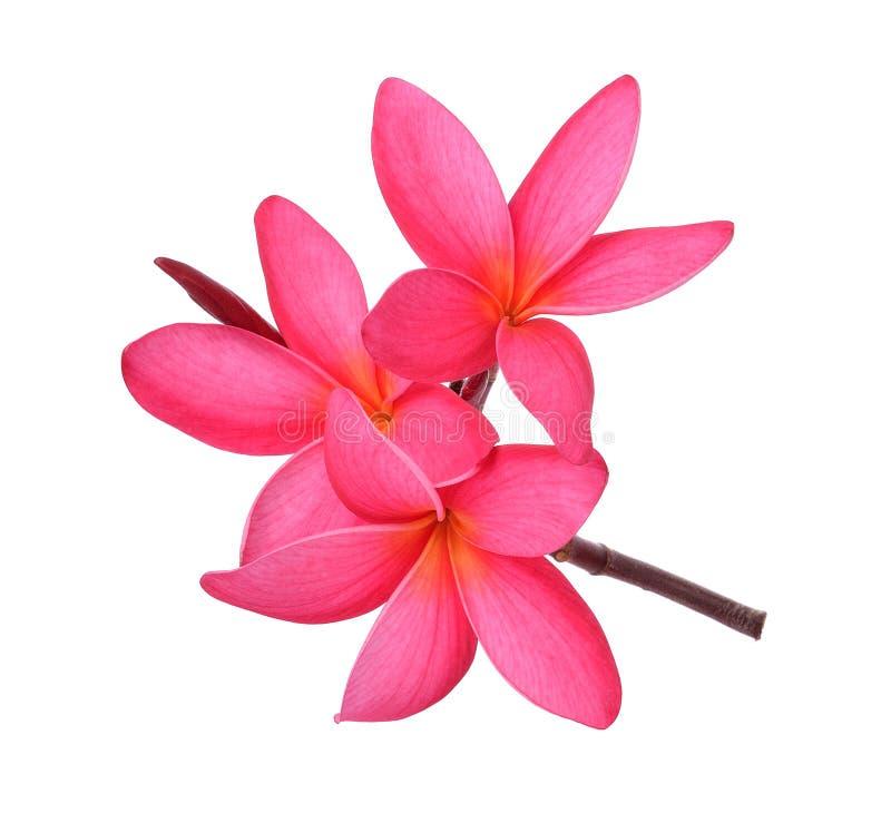 Frangipani flower isolated on white background royalty free stock photography