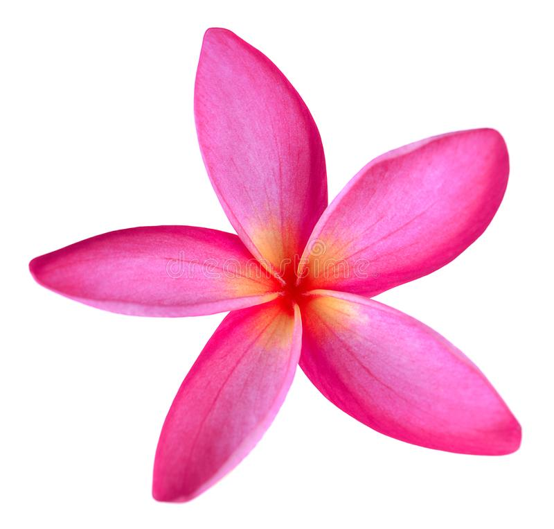 Frangipani flower isolated on white background.  stock photography