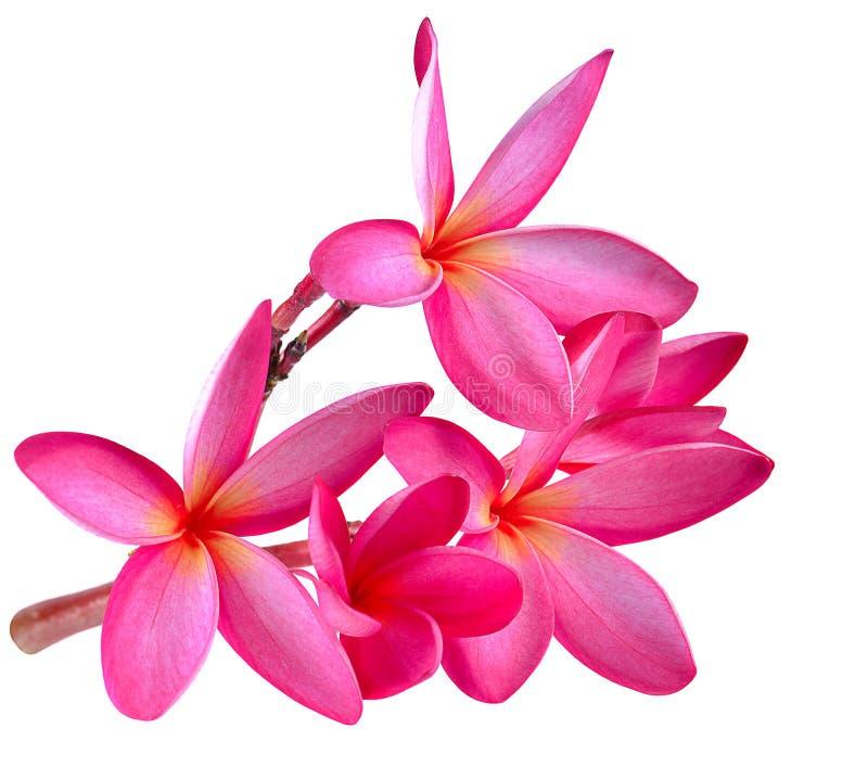 Frangipani flower isolated on white background.  royalty free stock photography