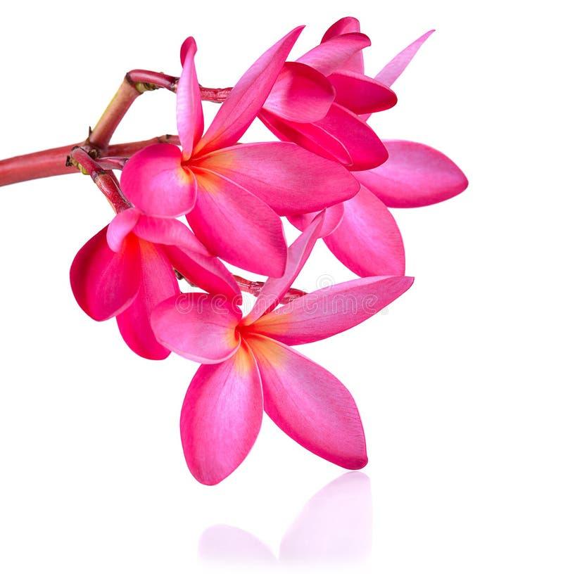 Frangipani flower isolated on white background.  royalty free stock image