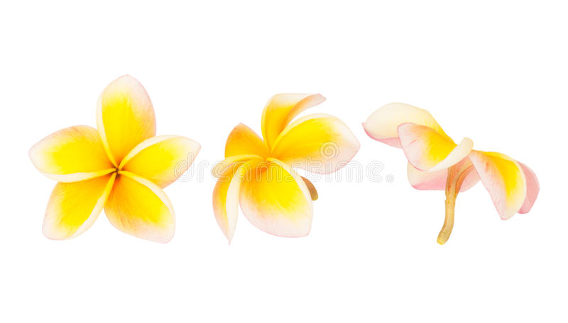 Frangipani flower isolated stock image