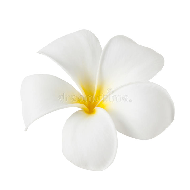 Frangipani flower isolated on white stock photography
