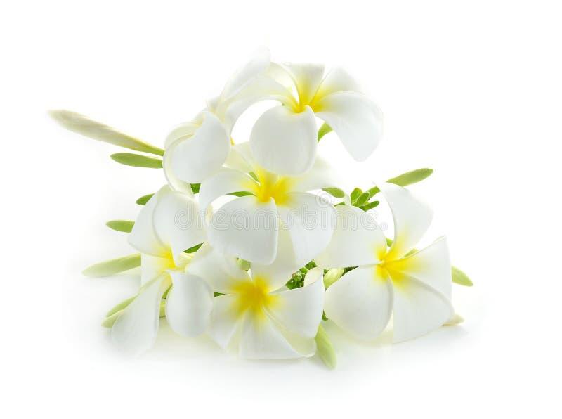 Frangipani flower isolated on white royalty free stock images
