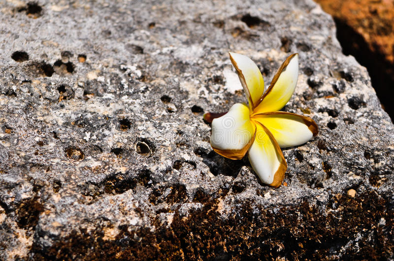 Download Frangipani Flower On A Old Rock Stock Photo - Image: 22226206