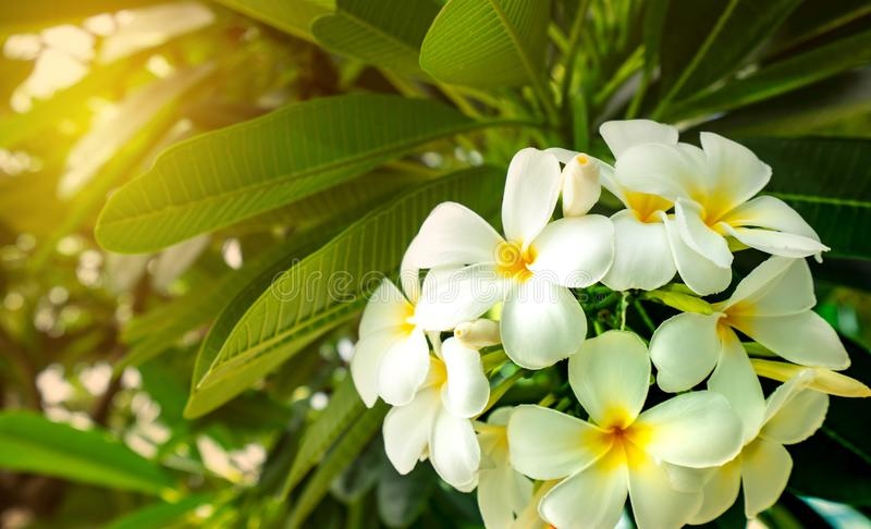 Frangipani flower Plumeria alba with green leaves on blurred background. White flowers with yellow at center. Health and spa royalty free stock image