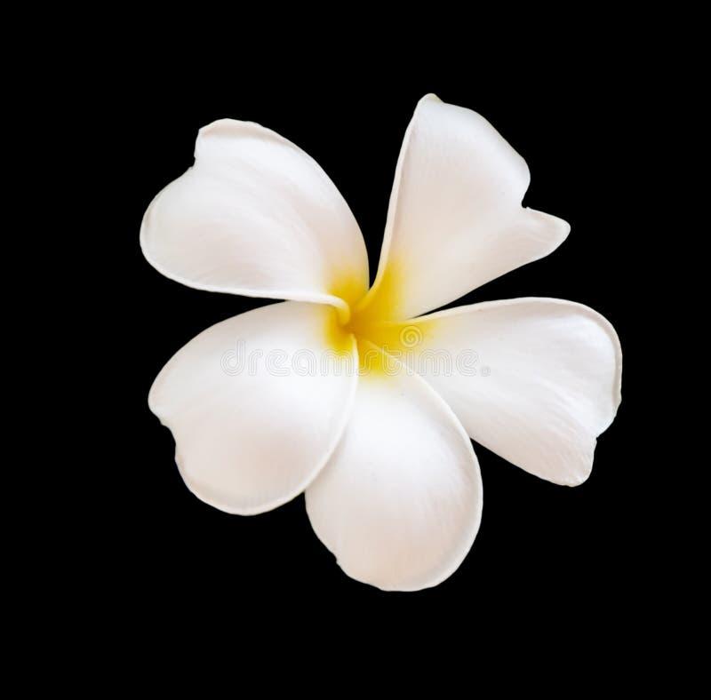 Frangipani flower Plumeria alba royalty free stock photos