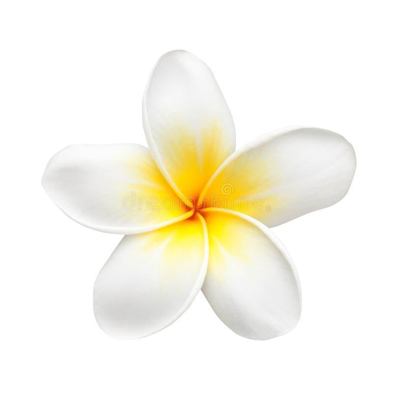 Frangipani Flower or Plumeria Isolated on White stock photos