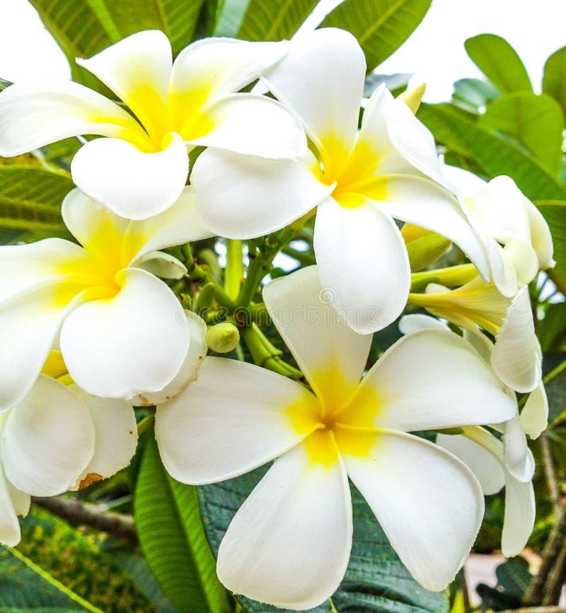 Frangipani flower. Frangipani, Plumeria tropical flower cluster royalty free stock photo