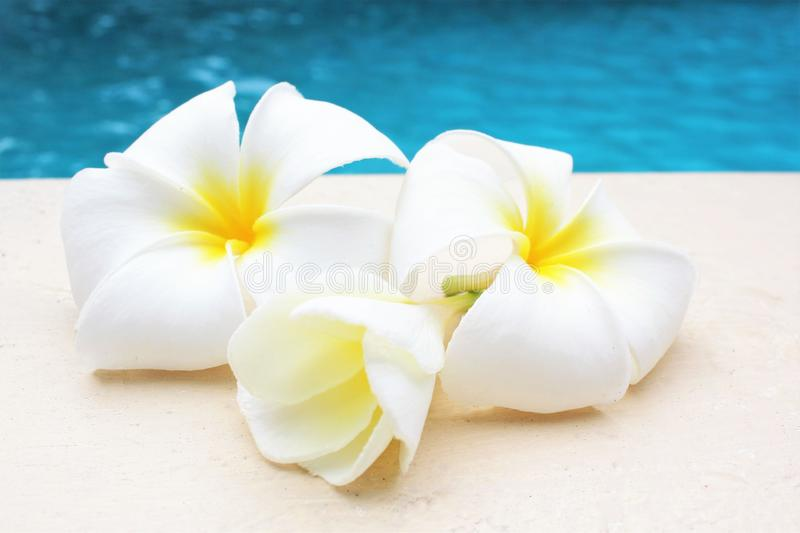 Frangipani flower tropical poolside background with copy space stock photo photograph image picture. Three stock photography