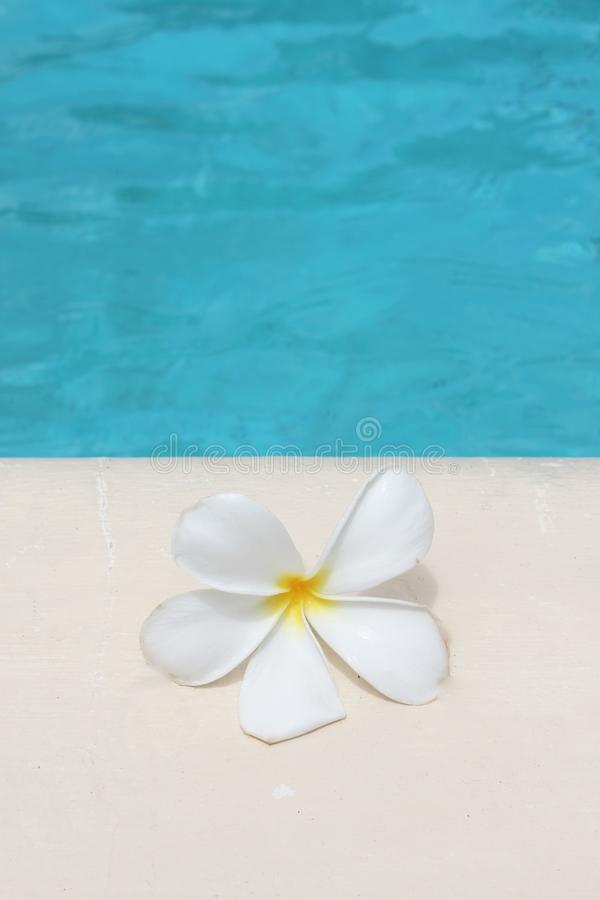 Frangipani flower tropical poolside background with copy space stock photo photograph image picture. Frangipani flower tropical poolside spa background with copy stock photography