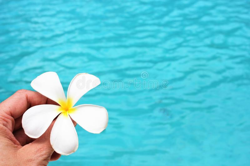 Frangipani flower tropical poolside background with copy space stock photo photograph image picture. Frangipani flower tropical poolside spa resort vacation stock photos