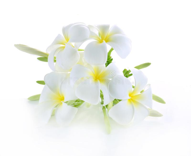 Frangipani flower on white royalty free stock image