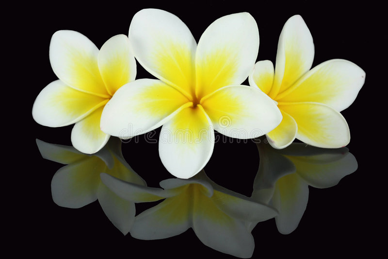 Download Frangipani flowers stock photo. Image of hawaii, over - 7547074