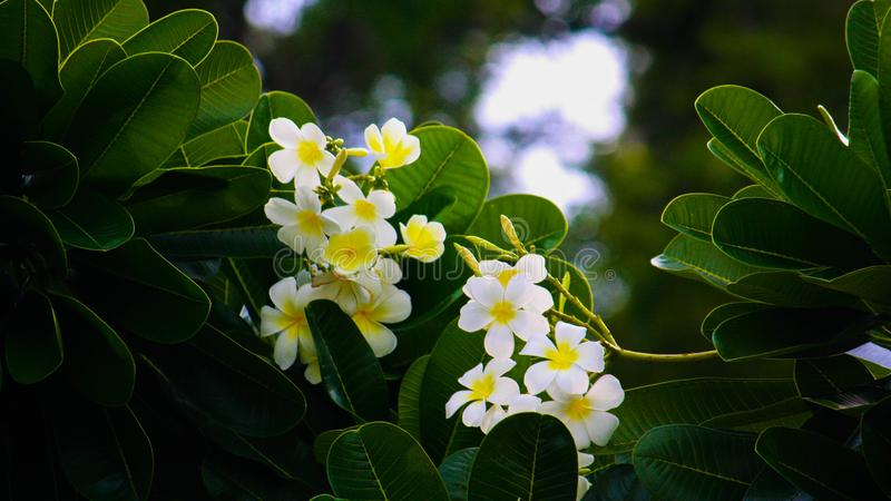Frangipani flowers with lush green leaves royalty free stock photo