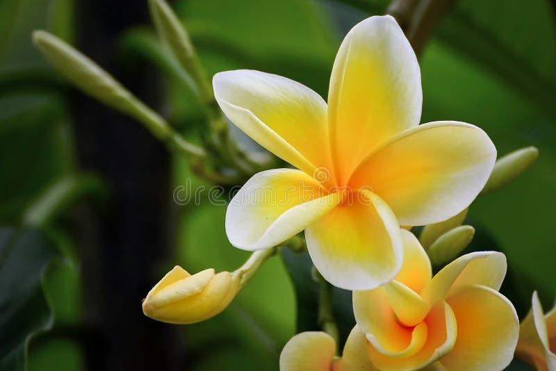 Frangipani flowers stock photos